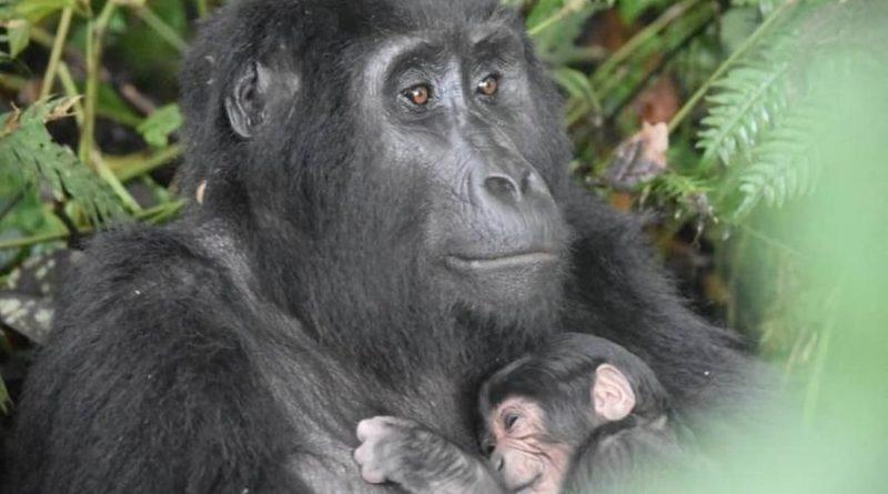 Gorilla di montagna, Uganda